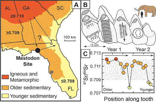 Results of study of Hoppe et al. (1999). Colors correspond with rock types. (a) Southeastern US, showing regions of higher (dark red) vs. lower (light yellow) 87Sr/86Sr. (b) Sketch of mastodon lower molar tooth, showing shape, growth direction of a single cusp, and typical sampling strategy used in other studies (black bands, representing the tracks of a drill; Hoppe et al. 1999 used a somewhat different approach based on the same principles). US quarter (similar in size to a euro) for scale. Gray areas on top of five cusps are facets produced by grinding against opposing molars. Inset compares size of mastodon vs. human. (c) Sr isotope zoning in mastodon tooth showing that this animal must have migrated seasonally in the region, possibly as indicated by arrows. Rise in 87Sr/86Sr represents movement to regions underlain by igneous and metamorphic rocks, and dip in 87Sr/86Sr represents movement to regions underlain by younger sedimentary rocks.