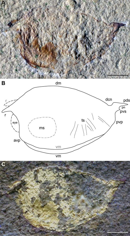 Holotype MSNM i20655 of Globulocaris garassinoi Teruzzi and Charbonnier nov. gen, nov. sp. from the Cenomanian of Hakel, Lebanon. A. Carapace, left lateral view, natural light. B. Interpretative line drawing. C. Image with inverted colours. Abbreviations: avp = antero-ventral process, dm = dorsal margin, dcn = dorsal concave notch, ms = muscle scar, pn = posterior notch, pds = postero-dorsal spine, pvs = postero-ventral spine, r = rostrum, ts = trunk somites, vm = ventral margin. Scale bars: 2 mm. Line drawing: S. Charbonnier. Photographs: G. Teruzzi.