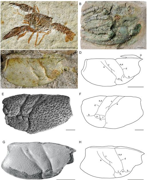 Eryma representatives from Late Permian and Jurassic. A, specimen MNHN.F.B13450 of Eryma modestiforme (Schlotheim, 1822) from the Tithonian of Solnhofen, Germany; B, P1 chelae of the lectotype GPIT/CU/00349 (Quenstedt coll.) of Eryma ornatum (Quenstedt, 1857) from the Callovian of Gammelshausen, Germany ; C–D, cast of the holotype MNHN.B.12484 of Eryma ventrosum (Meyer, 1840) from the Oxfordian of Calmoutier, France: carapace (C) and line drawing (D); E–F, holotype PIN 1453 of Protoclytiopsis antiquaBirshtein, 1958 from the Changhsingian of Ust-Jenisseisk, Russia: carapace (E) and line drawing (F); G–H, holotype KSGR/AGH/K/4 of Galicia marianaeGarassino and Krobicki, 2002 from the Oxfordian of Rudno, Poland: carapace (after Garassino and Krobicki: fig. 7) (C) and line drawing (D). Abbreviations: a: branchiocardiac groove; b: antennal groove; b1: hepatic groove; c: postcervical groove; d: gastro-orbital groove; e1e: cervical groove; i: inferior groove; ip: intercalated plate; ω: attachment site of mandibular muscle; χ: attachment site of adductor testis muscle. Scale bars=10mm. Photographs: L. Cazes (A), G. Schweigert (B), J. Devillez (C), F. Schram (E). Line drawing: J. Devillez.