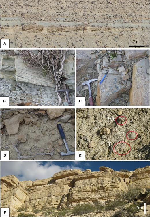 (A) to (C) Illustration of F.A.9. (A) General view of sigmoidal cross-bedded sandstones (F.A.9); (B) Vertical passage from lenticular bedding to wavy bedding; (C) Mud clasts in sandy bed of F.A.9; (D) and (E) Pholadomya (Ph.), Trigoniids (T) and Lucinidea (L) of F.A.11; (F) Meter-scale laminated limestone beds of F.A.13.