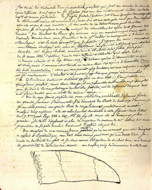 Lettre inédite de Bruno Marmin à Jules Desnoyers (BNF NAF 24251/folio 282verso) envoyée en juillet 1835 (cachet de la poste datée du 30juillet 1835). Le croquis représente une dent de théropode de 110mm de hauteur (grandeur naturelle dans le document original). Ce spécimen (MHNB 122) fut donné par Marmin au Musée d'Histoire naturelle de Boulogne-sur-Mer et fut identifié comme une dent de Megalosaurus insignis par Sauvage (1874). Document reproduit avec la permission de la Bibliothèque nationale de France.