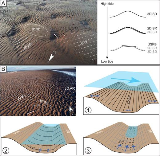 (A) Bedform succession observed close to the shoreline of highest tide. 2D SR are mainly observed within the troughs of the 3D SD, and the USPB replace the hummocky part of the 3D SD. The 3D SD are generated during high tide and then, during falling tide, 2D SR are generated. Sea level continuing to fall, swash process and backwash process form USPB, flattening the zone and preserving the 2D SD within the trough of the 3D SD. (B) Bedforms occurring within a runnel. USPB is present on the ridge (top left corner) while 2D SD are observed on the slope of the runnel and 3D AR are limited to the central part of the runnel. 3D CR are not shown on the picture but occur under the small, still submerged zone. 2D SR showing an orientation parallel to the runnel are considered to be formed during high tide (1). Sea-level falling, the ridge is close to be exposed and USPB are formed on the top of the ridges (2). When the ridge is fully exposed, the runnel still allows wave propagation but now orthogonally to the shoreline. This explains how 2D SR is with crest aligned E-W (2). In (3), water is close to its lowest level and, during this step unidirectional tide current has increased, thus generating 3D AR and then 3D CR (when oscillatory process ceases).