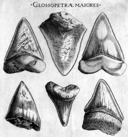 Steno demonstrated that the Glossopetrae are in fact fossil shark teeth.