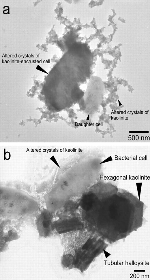 How kaolinite plays an essential role in remediating oil polluted tem images of the kaolinite heavy oil bacterial cell complex at a kaolinite concentration fandeluxe Gallery