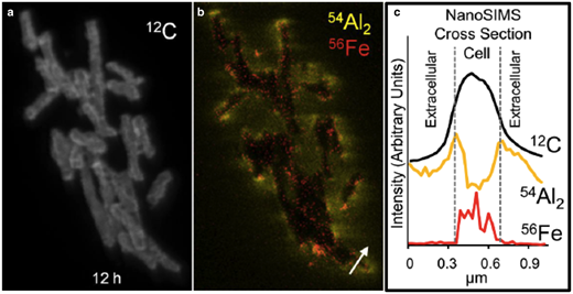 Nano-SIMS showing: (a) a cluster of E. coli treated with OMT leachate; (b) Al (yellow) and Fe (red) distributions in the E. coli; (c) cross section across a single cell (white arrow in b) showing elevated Al on cell membranes and intracellular Fe (modified from Morrison et al., 2016).