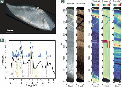 A 4.1 ka fossil fish otolith from Huaca Prieta (Chicama Valley, Peru) was mapped using XRF. (A) Light microscopy image of the otolith. The white box outlines the section analyzed by XRF. (B) XRF spectrum of a single pixel (blue line) and the average spectrum over the entire section shown in A (black line). (C) Left: Detailed views of the otolith section taken in reflected and transmitted light. right: SR-XRF maps of phosphorous, calcium, and strontium; Sr banding corresponds to subannual and annual temporal variations in the individual's local environment. Source: Cook et al. (2015).