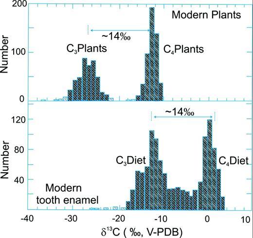 δ13C-values of C3 and C4 plants (upper half) and the CO3 component of mammal tooth enamel (lower half). The isotope difference between C3 and C4 plants is passed onto mammals with an 13C enrichment of 14 ‰ that mainly reflects the isotope fractionation between the bulk δ13C of an animal and the δ13C of the carbonate component in tooth enamel. Isotope compositions of teeth that fall between C3 and C4 endmembers reflect mixed feeding (Kohn & Cerling, 2002).