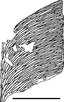 Line drawing of venation details of Glossopteris raniganjensis Chandra & Surange, 1979 (CNM SA.2c). Scale bar: 10 mm.