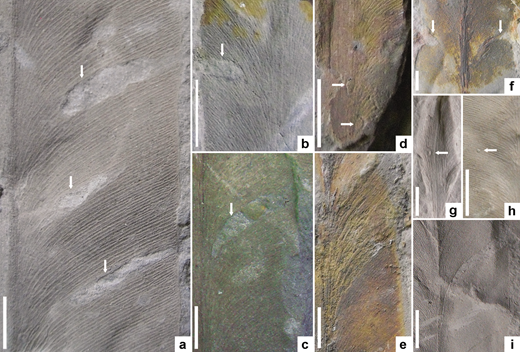 Arthropod (a–h) interactions and (i) physical attrition on Glossopteris raniganjensis Chandra & Surange, 1979 leaves. (a, c) Elliptical hole feeding traces with slender reaction rims (arrowed) (CNM SA10a and CNM SA.2d, respectively). (b) Deep, U-shaped, margin-feeding damage (arrowed) (CNM SA.2e). (d) Oviposition scars flanking and overlying the leaf midrib (arrowed) (CNM SA.2f). (e) Possible skeletonization damage through a portion of the lamina (CNM SA.10b). (f) Possible early-stage margin feeding damage represented by tapering clefts (arrowed) on either side of the lamina in the apical half of the leaf (CNM SA.2g). (g, h) Possible piercing-and-sucking scars situated over secondary veins (Reg. numbers CNM SA.9c and CNM SA.10c respectively). (i) Lamina tearing along secondary veins (CNM SA.9d). All scale bars: 10 mm.