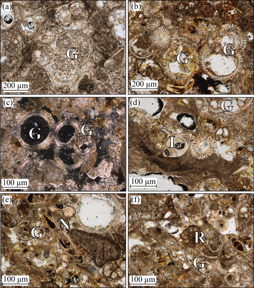 (Colour online) Photomicrographs of planktonic foraminifera from interbedded marls and chalks within the Nicosia (Lefkoşa) Formation: (a) Globigerinidae [G]; (b) Globigerinidae [G]; (c) Globigerinidae [G]; (d) Lenticulina [L] (benthic foraminifera) and Globigerinidae [G]; (e) Globigerinidae [G] and Nodosariidae [N]; and (f) Rotaliidae [R] and Globigerinidae [G].