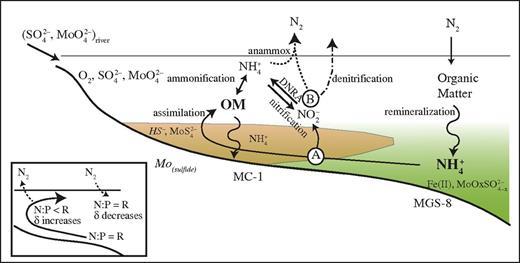 Stability Of The Nitrogen Cycle During Development Of Sulfidic Water