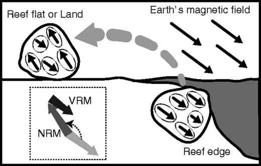 Conceptual illustration of emplacement of tsunamigenic coral boulder. Boulders originally grew as corals Porites on the reef edge or reef flat before the tsunami. The corals acquired depositional remanent magnetization parallel to Earth's current magnetic field as natural remanent magnetization (NRM). When broken by the tsunami, the corals were transported and emplaced on the reef flat or on land. Subsequently, with time, new remanence was superimposed as viscous remanent magnetization (VRM) parallel to Earth's current magnetic field.