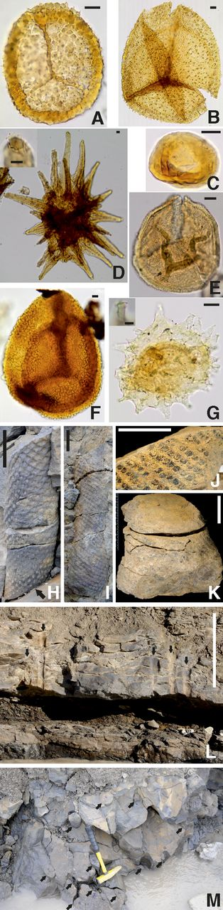 A–G: Palynomorphs from forest localities and Mimerdalen Valley succession. Scale bars are 10 µm unless indicated. Samples, slide numbers, coordinates, taxonomic citations, and supporting references are provided in Item DR2 (see footnote 1). A: Cymbosporites magnificus. B: Verrucisporites submamillarius. C: Tholisporites densus. D: Nikitinsporites spitsbergensis; inset is enlargement showing multifurcate terminal process; scale bar in inset is 5 µm. E: Geminospora lemurata. F: Contagisporites optivus. G: Ancyrospora spp.; inset shows spine tip enlargement with weakly developed multifurcate tips; scale bar in inset is 5 µm. H–M: In-situ lycopsid fossils and forests. Scale bars for H–K are 50 mm; scale bar for L is 50 cm. H: Locality AF3, partial trunk in situ, base sheared by small fault (arrow), showing variation of level of preservation in cortex from oval leaf base parenchyma at base to diamond-shaped leaf bases at top. I: Locality AF1, upright trunk with slightly flared base. J,K: Locality AF2 Sandstone cast base removed from loose shale at 1.6 m in Figure 3, showing flaring of extreme basal portion and separation of diamond leaf bases by secondary expansion. L: Locality AF2, sandstone with undulating bedding with external casts of at least five upright lycopsid trunks (arrows), with bases in dark gray shaley paleosol with small roots; view looking east. M: Locality AF3, oblique view looking west, showing 12 casts of upright lycopsid trunks (arrows).