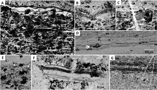Types of carbonaceous material in the Josefsdal Chert, South Africa. A: Dark wavy, phototrophic laminae (type 1; black arrows) coexisting with dark, chemotrophic clots (type 2; labeled as C). B,C: Details of phototrophic biofilms showing entrapped detrital grains (arrows, B) and compensation of laminae over underlying clot (arrow, C). D: Laminated, detrital type 3 carbonaceous matter, partly rippled (black arrow), with sedimented clot (white arrow). E: Type 2 clots, whose irregular shape suggests in-situ growth, co-occur with sedimented carbonaceous matter (white arrow). F: Detrital fragment of well-preserved phototrophic biofilm in facies A. G: Phototrophic laminae are generally poorly preserved in the coarse sands of facies A (and facies D).