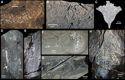 Exceptionally preserved fossils of Ya Ha Tinda Lagerstätte (Alberta, Canada; specimen numbers are provided in Data Repository [see footnote 1]). RDM—Red Deer Member; PCS—Poker Chip Shale Member. A: Articulated ichthyosaur vertebrae and ribs (RDM, late Pliensbachian). B: Skull of small teleost fish (PCS, within Toarcian Oceanic Anoxic Event [T-OAE] carbon isotope excursion [CIE]); note preservation of gills (arrow). C: Seirocrinus subangularis (crinoid) calyx collected by Russell Hall (RDM, late Pliensbachian). D: Vampyropod gladius with mantle muscle (white arrow) and ink sac (black arrow) (RDM, early Toarcian). E: Loligosepiid vampyropod gladius with ink sac (arrow) (RDM, early Toarcian). F: Shrimp body fossil (PCS, within T-OAE CIE). G: Complete body fossil of Uncina pacifica lobster, proximodistally flattened (RDM, late Pliensbachian). H: Complete body fossil of eryonid lobster, dorsoventrally flattened, ventral view (RDM, late Pliensbachian).