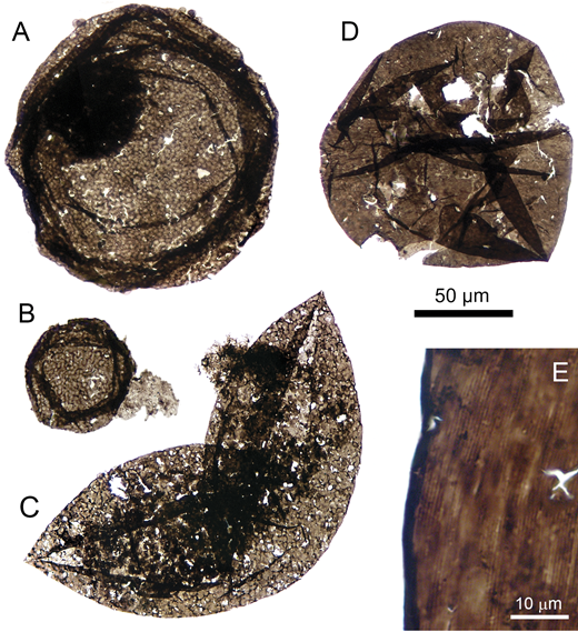 Eukaryotic microfossils from the Greyson Formation (Montana, USA). A–C: Dictyosphaera macroreticulata, with reticulate wall structure, intracellular inclusion (A) and medial split (C). D, E: Valeria lophostriata, with concentric wall microstructure. Dark scale bar applies to A–D.
