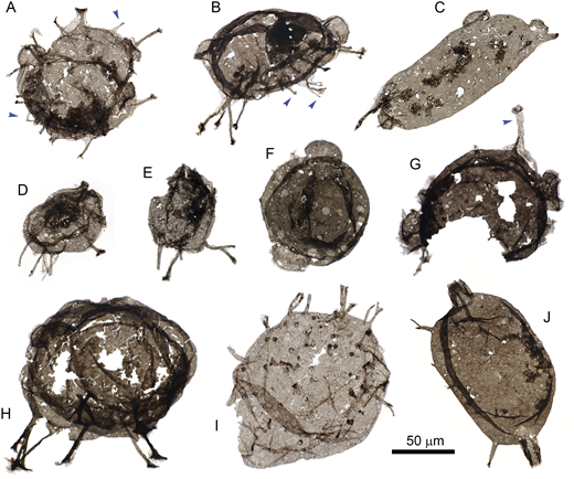 Eukaryotic Tappania plana from the Greyson Formation (Montana, USA), showing variably branched processes (B, E, H–J), terminally flared processes (A, B, D, G, H), hemispherically polarized processes (B, D, E, H–J), septate processes (F), tubular outgrowth comparable to T. tubata (J), and an outer wall capable of independent process formation (blue arrows in A, B, G). Scale bar applies to all images.