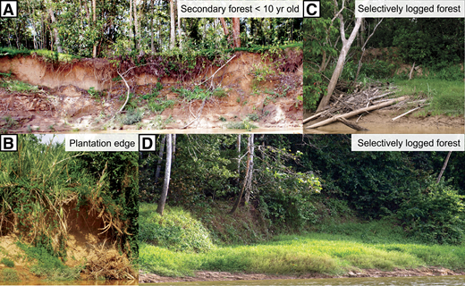 A,B: Examples of cleared meanders showing evidence of small mass-wasting events delivering unconsolidated material to Kinabatangan River, Malaysia. C,D: Examples of forested meanders showing evidence of large mass-wasting events with consolidated material accumulated at base of riverbank.