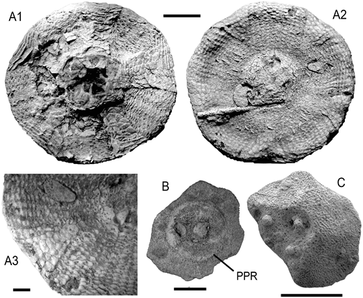 Paleozoic holdover echinoids. A: Undescribed proterocidaroid in apical (1) and oral (2) views and with detail of oral test plates (3); Anisian (Middle Triassic) of Lorentzen, Lorraine, France (specimen MHI 2146). Scale bars = 1 cm. B: Dissociated ambulacral test plate of a proterocidaroid, with peripodial rim (PPR) indicated; Carnian (Late Triassic) of the Settsass Scharte, Italy (specimen NMS BOZ 5043). Scale bar is 1 mm. C: Dissociated ambulacral test plate of a probable proterocidaroid; Carnian (Late Triassic) of Sichuan, China (specimen MHI 1604/1). Scale bar is 1 mm. Specimen repository: MHI—Muschelkalkmuseum Ingelfingen, Germany; NMS BOZ—Naturmuseum Südtirol, Bolzano, Italy.
