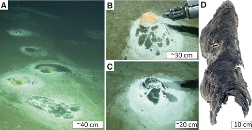 Area photographs of dome-shaped mats on seafloor and conical stromatolite sampled at Flare site 15 (24°48.46′N, 63°59.65′E). A: Neighboring chemotrophic microbial mats; note black sediment associated with microbial mats. B: Domal bioherm covered by orange and colorless mats. C: Domal bioherm covered by colorless mat. D: Conical stromatolite (sample GeoB12353–11; adapted from Himmler et al., 2016).
