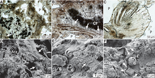 Thin section micrographs (plane-polarized light) and scanning electron microscope images of microbial fabrics (sample GeoB12353–11; Fig. 2D). A: Lithified filament bundles (arrows) surrounding clotted and fibrous aragonite cements (Cf). P—pore space. B: Lithified sheaths resembling Thioploca bundles next to clotted and fibrous aragonite (Cf); note preserved individual filaments (arrows). C: Lithified bundle (center left) transitioning into bouquet-like sheaths (center right) with preserved segmentation (arrows) typical for Thioploca filaments. D: Lamina surface showing mineralized extracellular polymeric substance (EPS; arrows) partly covering aragonite crystals (Ara); U—Umbilicosphaera sibogae coccolith. E: Mineralized rod-shaped cells (arrow) within mineralized EPS; EPS partly covering coccoliths (G—Gephyrocapsa oceanica). F: Mineralized, unidentified filamentous microorganisms (arrows) partly attached to EPS; EPS partly covering coccoliths (E—Emiliania huxleyi; G—G. oceanica). See Figure DR1 (see text footnote 1) for sample locations of D–F.