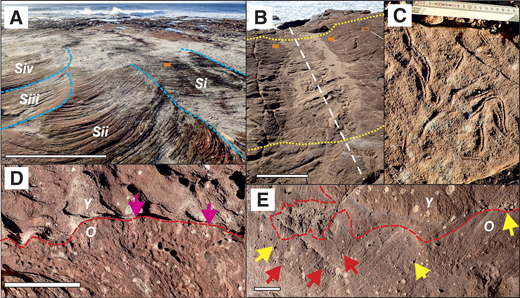 Bounding surfaces and Psammichnites in Facies Association 3 (FA3) of Silurian Tumblagooda Sandstone, Western Australia, with first-order surfaces in blue, second-order surfaces in red; orange boxes mark Psammichnites patches. A: Four truncated cross-bed sets (Si–Siv) deposited by subcritically climbing dunes. B: Channelized scour cut into cross-stratified sets (white line shows channel axis). Yellow lines show topographic relief; open orange box is enlarged in E. C: Psammichnites cross-cutting truncated foresets. Scale is in centimeters. D: Plan view of younger (Y) set on top of older (O) set: Psammichnites on top of O buried under second-order bounding surface at base of Y. E: Plan view of a set (Y) with patchily preserved pebble lag (yellow arrows) at its lower second-order bounding surface, on top of older set (O) of truncated, Psammichnites-hosting (red arrows) cross-strata. Scale bars: 1 m in A and B, 10 cm in D and E.