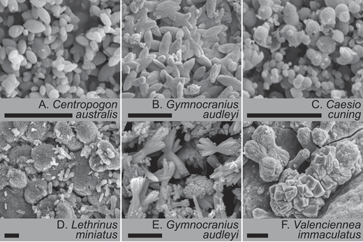 Electron microscope images showing each of the main carbonate morphologies produced by different fish species. A,B: High-Mg calcite (HMC) ellipsoids. C: Mg-rich amorphous calcium carbonate (ACMC) nanospheres. D,E: Low-Mg calcite (LMC) and HMC spheres and dumbbells. F: LMC rhombohedra. Scale bars are 4 µm.