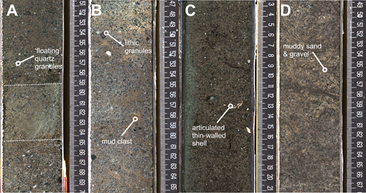 Representative core photos from coarse-grained bottomset deposits interpreted as debrites. Scales are in centimeters. (A) From sequence m5.7 (core 313-28-A-136-2-1), stratified (dotted lines are bed contacts) poorly sorted muddy sand and gravel grains supported by (floating in) a finer grained matrix. (B) From sequence m5.6 (core 313-28-A-129-2-1), unsorted muddy sand and gravel. Note intraformational mud clasts and extrabasinal clasts that range from angular to rounded. (C) From sequence m5.45 (core 313-29-A-184-2-1), poorly sorted muddy sand with an articulated thin-walled shell. (D) From sequence m5.7 (core 313-28-A-145-1-1), poorly sorted muddy sand, with a high mud content. Scales are in centimeters.