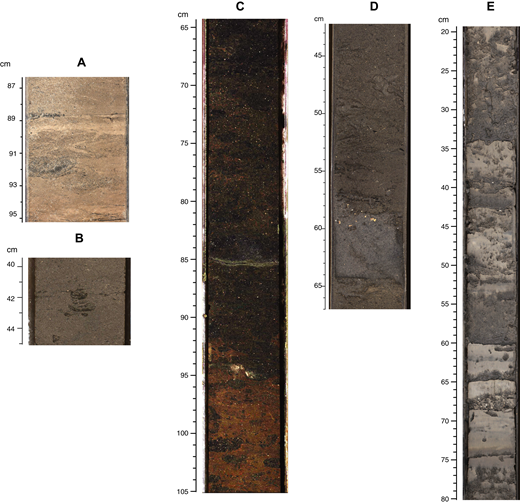 Core photographs illustrating some of the main facies end members observed in Holes M0027, M0028, and M0029. (A) Interbeds of clay, silt, and very fine-grained sand with a meniscate backfilled burrow (Taenidium at 90–91cm) in river-influenced lower offshore deposits (Hole M0028, lithofacies 28-3; ∼616–619 m, section 313-M0028-154R, 87–95 cm). (B) Silty very fine sand in lower offshore storm-influenced deposits (Hole M0029, lithofacies 29-16; ∼505–507 m, section 313-M0029–127R-2, 40–45 cm) showing a Teichichnus burrow at 42 cm. (C) Silty very fine sand with glauconitic sand-filled burrows and Chondrites in the starved slope apron deposits (Hole M0027, lithofacies 27-1; ∼626–632 m, section 313-M0027–223R-1, 65–105 cm). (D) Sharp-based two-part sand bed, with a lower clean sand division (64–59 cm) with shell fragments concentrated at the top and no bioturbation, and an upper silty sand division (59–54 cm) with low-angle laminations, clay, and no bioturbation. Above 54 cm is muddy and bioturbated fine sand (Hole M0028, lithofacies 28-13, ∼417–420 m, section 313-M0028-80R-2). These are interpreted as combined flow deposits under the influence of geostrophic (lower part) and storm wave–generated (upper part) currents. (E) Bioturbated shelly fine sand interbedded with silty clay possibly deposited in lagoonal and barrier beach environments (Hole M0029, lithofacies 29-30, ∼288–292, section 313-M0029-53R-2, 20–80 cm).