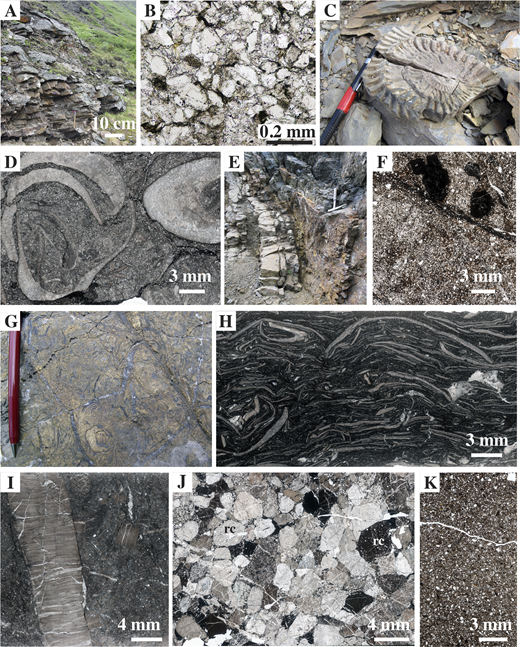 Lithologic features of Jurassic and Cretaceous strata in and adjacent to the Mystic subterrane, shown in outcrop photographs (A, C, E, G), a photomicrograph (B), and thin section scans (D, F, H–K). See Figure 4 for locations except where indicated. (A, B) Sandstone at locality (loc.) 19 contains a youngest detrital zircon population of Early Jurassic age and ∼80% monocrystalline quartz grains. (C) Early Jurassic (Sinemurian) ammonite, locality 20 (Table 1). (D) Sinemurian bivalves, locality 21 (Table 1). (E–I) Strata at locality 17 include blue-gray–weathering, phosphatic, Jurassic sandstone (in E, F; dark clasts in F are phosphate) and tan- to orange-weathering Cretaceous limestone (in E) comprising two lithofacies: Buchia coquina of probable Valanginian age (in G, H; Table 1) and Hauterivian–Barremian beds rich in coarsely prismatic inoceramid shell fragments (in I; Table 1; cf. prism size here with that in Permian shells in Fig. 9I). (J, K) Albian (or younger?) conglomerate (in J; loc. 3, Fig. 2) rich in clasts of radiolarian chert (rc) and heterolithic sandstone (in K, loc. 16) with abundant quartz (white grains) and sedimentary lithic clasts (brown grains).