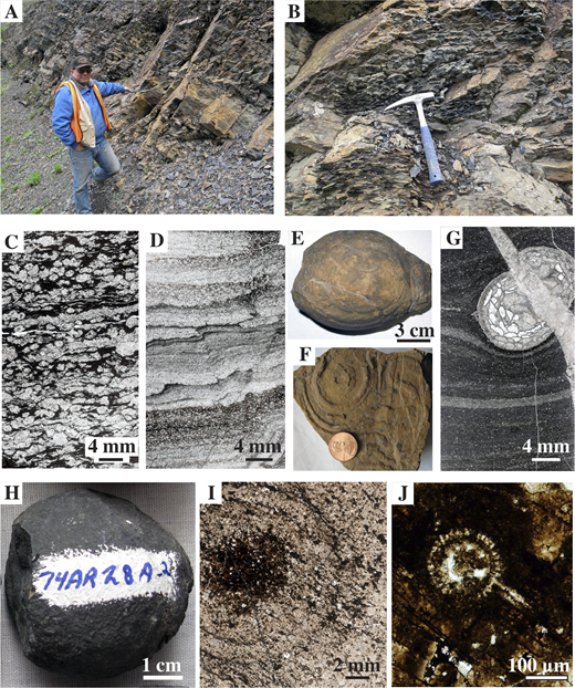 Lithologic features of Middle(?) and Upper Devonian sedimentary rocks, shown in outcrop photographs (A, B, E, F, H), thin section scans (C, D, G, I), and a photomicrograph (J). See Figure 4 for locations. (A–D) Bedded barite at Gagaryah deposit, locality 1; barite textures range from massive to nodular (in B, C) to laminated (in D). (E–G) Limy concretions, locality 2; G shows typical microtexture of finely laminated calcareous radiolarite and the coral Cystiphylloides sp. of probable Middle Devonian age (Table 1). (H–J) Fluorapatite concretions, locality 3, consist of dark brown phosphate intergrown with pale quartz, calcite, and minor barite (in I) and contain Famennian radiolarians (in J).