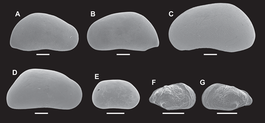 Scanning electron images of ostracode valves from the southern Bouse Formation. All images are external lateral views. (A) Candona sp. C, female right valve, sample HM73. (B) Candona sp. C, female left valve, sample HM73. (C) Candona sp. C, male left valve, sample HM73. (D) Candona sp. D, female right valve, sample HM73. (E) Candona sp. E, female right valve, sample EARP26. (F) Perissocytheridea sp., juvenile right valve, sample HM33. (G) Perissocytheridea sp., juvenile left valve, sample HM33. For stratigraphic information, refer to Figure 3 and the Supplemental Materials (text footnote 1) on Hart Mine Wash. Ostracode valves were coated with carbon and imaged on a Hitachi 3400N SEM. Original images were modified for contrast and clarity using Photoshop CS6. See Bright et al. (2016) for additional ostracode valve images.