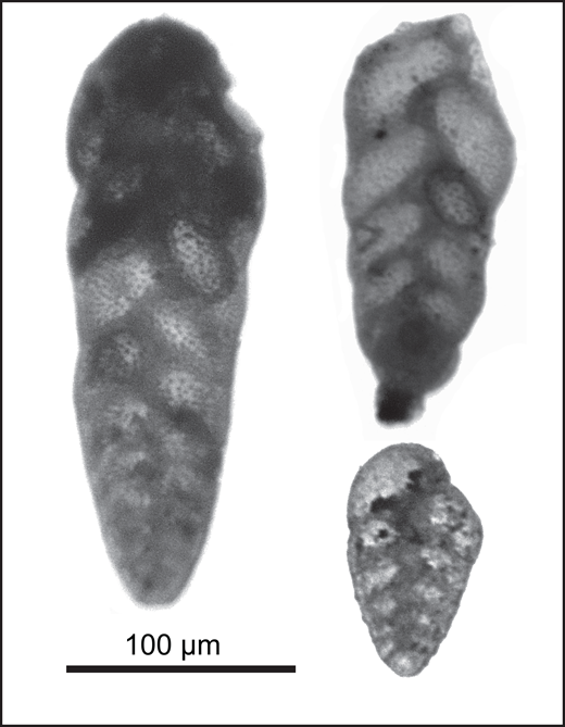Digital photographic images of representative biserial foraminifers, tentatively identified as Bolivina spp., in sample CHEM-4 from the lower northern Bouse Formation marls in Chemehuevi basin. See Figure 2 for stratigraphic context. Tests are stained with iron oxide, similar to quartz grains and other objects in the associated >45 µm residues. Similar staining demonstrates that the foraminifer tests are autochthonous rather than sieve cross-contamination from other southern Bouse Formation samples.