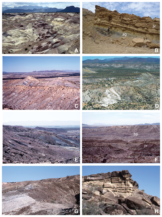 Outcrop features of the Javelina Formation. (A) Lower part of type section of the Javelina Formation on the south side of Dawson Creek (units 1–5, section 1), showing friable tan white-weathering conglomeratic sandstone interbedded with light-gray and purple mudstone typical of the western facies of the formation; (B) basal sandstone of the Javelina Formation (jv) and contact with underlying Aguja Formation (ag) exposed east of Paint Gap Hills (unit 1, section 9); (C) lower part of Javelina Formation northwest of McKinney Spring showing prominent hogback ridges held up by well-indurated sandstone (units 5–9, section 5) alternating with variegated mudstone typical of eastern facies of the formation; (D) upper part of Javelina Formation north of Grapevine Hills (units 3–7, section 8) showing lenticular white-weathering tuff bed (in left foreground) dated at ca. 69 Ma; (E) lacustrine facies in upper part of Javelina Formation at Pterosaur Ridge (units 14–16, section 7) showing rhythmically bedded green siltstone and bioturbated dark-brown sandstone; (F) Javelina/Black Peaks formational contact northeast of McKinney Springs (units 11–17, section 5) showing prominent physiographic break between dark-brown ridge-forming sandstone beds in Javelina Formation (jv) and slope-forming variegated mudstone of the Black Peaks (bp); (G) typical lacustrine mudstone beds in upper Javelina Formation at Pterosaur Ridge (unit 15, section 7); (H) typical fluvial channel sandstone in upper Javelina Formation at Pterosaur Ridge (unit 3, section 7).