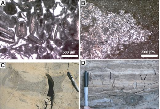 Upper Pennsylvanian shelf interior facies. (A) Oolitic grainstone with common moldic ooids and thin isopachous calcite cement (A445–1.2). (B) Peloidal dolomudstone disturbed by large, displacive popcorn-chert nodule. The nodule contains turbid rhombs of dolomite (gray) and silicified laths after anhydrite (white), lending it a felted fabric (arrows). The association of dolomite, anhydrite, and displaced lamination implies that anhydrite emplacement and dolomitization occurred concurrently during deposition and very shallow burial (A442–0.95). (C) Restricted dolomitic wackestone with cut-and-fill channel structure, filled with fusulinid tests (A475–0.5). Pen is 13 cm long. (D) Thick laminite with millimeter- to centimeter-scale lamination cut by desiccation cracks (arrows); ∼11 cm of pen showing (A391–0.3).