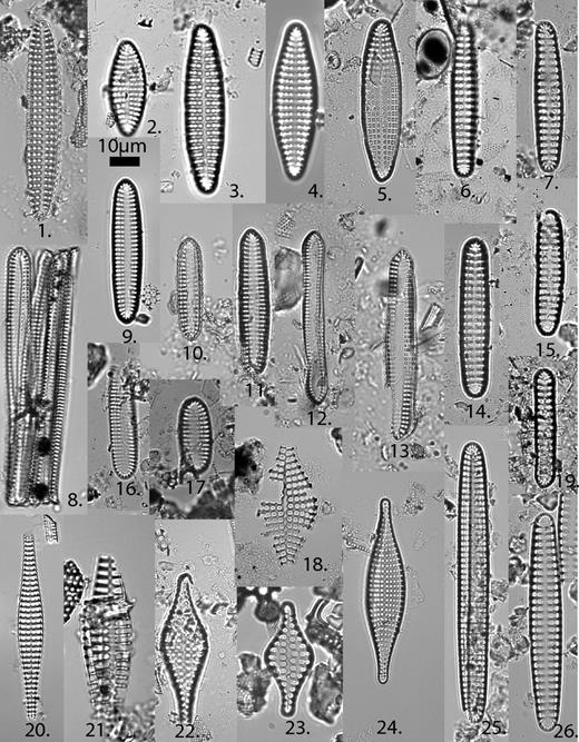 1 and 2—Delphineis ovata Andrews, sample 29A-157R-1, 70 cm. 3, 4, and 5—Delphineis penelliptica Andrews, 3 is sample 29A-157R-1, 70 cm; 4 is sample 29A-130R-1, 114 cm; 5 is sample 29A-91R-2, 52 cm. 6, 14, and 19—Delphineis angustata sensu Andrews, 6 is sample 29A-83R-1, 90 cm; 14 is sample 29A-91R-2, 52 cm; 19 is sample 29A-124R-2, 110 cm. 7 and 15—Delphineis biseriata (Grunow) Hendy, sample 29A-87R-2, 44 cm. 8, 10, 16, and 17—Delphineis lineata Andrews, 8 is sample 29A-130R-1, 114 cm; 10 is sample 29A-124R-2, 110 cm; 16 is sample 29A-147R-1, 10 cm; 17 is sample 29A-135R-1, 88 cm. 9, 25, and 26—Delphineis angustata (Pantocsek) Andrews s. str., 9 is sample 29A-130R-1, 114 cm; 25 and 26 are sample BG&E (Baltimore Gas and Electric Company), 139.5 ft. 11–13—Delphineis novaecaesaraea (Kain and Schultze) Andrews, 11 is sample 29A-91R-2, 52 cm; 12 and 13 are sample 29A-111R-2, 60 cm. 18—Rhaphoneis diamantella Andrews, sample 29A-71R-2, 40 cm. 20—Rhaphoneis lancettulla Grunow, sample BG&E, 80.7–81.7 ft. 2—Rhaphoneis fossile (Grunow) Andrews, sample BG&E, 323–324 ft. 22 and 23—Rhaphoneis fusiformis, 22 is sample 29A-157R-1, 70 cm; 23 is sample BG&E, 207.1 ft. 24—Rhaphoneis parilis Hanna sensu Andrews and Abbott, 1985, sample 29A-130R-1, 114 cm.