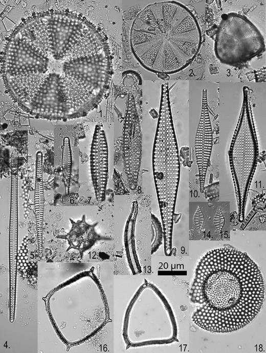 1—Actinoptychus heliopelta Grunow, sample Bethany Beach, 1142.3 ft. 2—Actinoptychus marylandicus Andrews, sample BG&E (Baltimore Gas and Electric Company), 139.5 ft. 3—Cymatogonia amblyoceras (Ehrenberg) Hanna, sample 29A-157R-1, 70 cm. 4—Sceptroneis caduceus Ehrenberg, sample BG&E, 323–324 ft. 5—Sceptroneis sp. cf. S. caduceus Ehrenberg, sample Bethany Beach, 1342.5 ft. 6—Sceptroneis sp. cf. S. caduceus Ehrenberg (short form), sample Bethany Beach, 1342.5 ft. 7, 8—Sceptroneis hungarica (Pantocsek) Andrews, 7 is sample 29A-167R-2, 144 cm; 8 is sample 29A-149R-1, 65 cm. 9—Rhaphoneis margaritata Andrews, sample BG&E, 221.8 ft. 10—Rhaphoneis scalaris, Ehrenberg, sample BG&E, 221.8 ft. 11—Rhaphoneis magnapunctata Andrews, sample BG&E, 162.1 ft. 12—Distephanus stauracanthus Ehrenberg, sample 29A-69R-2, 8 cm (silicoflagellate). 13—Proboscia praebarboi (Schrader) Jordan and Priddle, sample 29A-141R-1, 80 cm. 14, 15—Rhaphoneis fossile (Grunow) Andrews, sample Bethany Beach, 1242 ft. 16—Bachmannocena quadrangula (Ehrenberg ex Haeckel) Locker, sample 29A-87R-2, 44 cm (silicoflagellate). 17—Bachmannocena apiculata curvata (Schulz) Bukry, sample 29A-130R-1, 114 cm (silicoflagellate). 18—Craspedodiscus coscinodiscus Ehrenberg, sample 29A-130R-1, 114 cm.