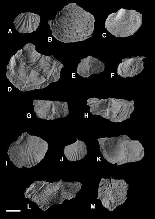 Brachiopods from the Kapp Starostin Formation at Kapp Starostin. (A) Brachythyrina sp.; (B) Cancrinella spitsbergiana; (C, D) indet. echinochoncids; (E, F) Haydenella sp.; (G) Lissochonetes superba; (H) Lissochonetes superba showing papillose areas either side of the centrum; (I, J) Stenocisma sp. 2; (K, L, M) Waagenoconcha sp. Scale bar is 1 cm.