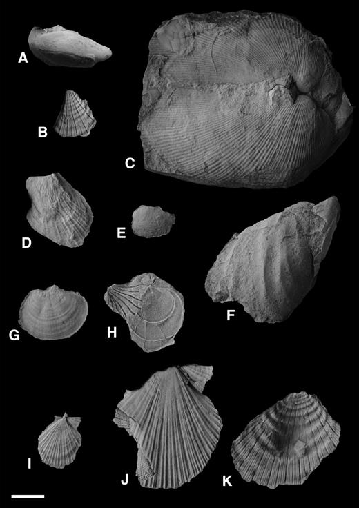 Bivalves from the Kapp Starostin Formation at Kapp Starostin. (A) Indet. buchid; (B) Etheripecten keyslingiformis; (C) Grammatodon (Cosmetodon)? suzuki; (D) Palaeolima sp.; (E) Palaeoneilo sp.; (F) Retroceramus sp.; (G) Streblopteria winsnesi; (H) Streblopteria winsnesi overlain by a fragment of Cassianoides; (I, J) Vorkutopecten svalbardensis; (K) Vorkutopecten sp. Scale bar is 1 cm.