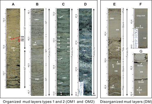 Photographs of cores ZK01 and ZK02 showing typical features of the organized (OM1 and OM2) and disorganized (DM) mud-layer types (depth in m). (A) A group of OM1 mud layers (generally <1 cm thick) interlaminated with fine sand layers (72.20–72.80 m depth; core ZK01). On a small scale, this interval shows obvious thick-thin alternations in the thickness for both the sand and OM1 mud layers, more commonly for the sand layers, which is interpreted to represent the tidal diurnal inequality, with the thicker sand and mud layers (termed as the first sand [FS] and first mud [FM] layers) being deposited during the larger tides, and the thinner sand and mud layers (i.e., the second sand [SS] and second mud [SM] layers) being formed during the smaller tides. On a larger scale, the variation in the thickness of the sand layers shows an alternation of sandier and muddier intervals, which is interpreted to represent evidence of neap-spring cycles, with the sandier and muddier intervals formed during spring tides (ST) and neap tides (NT), respectively. (B) Examples of OM1 and OM2 mud layers (46.07–46.73 m depth; core ZK01). As with the interval in A, the OM1 layers and accompanying sandy and silty layers display pronounced sandier and muddier alternations, representing the neap-spring cycles. Note the thicker OM2 (generally >1 cm) layers interspersed in the OM1-dominated interval that occur preferentially in association with the coarsest and thickest sand layers. As a result, they are interpreted to have formed during spring tides. (C) Examples of OM2 mud layers interbedded with fine sand and coarse silt layers in F4a (53.15–53.80 m depth; core ZK02). They are thick (1–5 cm) and internally homogeneous, and they locally display prominent thick-thin layer-thickness alternations showing evidence of the tidal diurnal inequality. Sparse bioturbation (B) with bioturbation index (BI) of 0–1 and small load structures (LS) are present at the top of many OM2 layers. (D) The coexistence of thick, homogeneous OM2 mud layers and relatively coarse-grained sand layers in F4a (47.35–48.00 m depth; core ZK02), displaying a thinning-upward trend for the OM2 mud layers, indicating a decrease of suspended-sediment concentrations, which is interpreted to be due to the waning of a river flood. (E) Examples of DM mud layers, which are extremely thick (5–30 cm) and internally structureless (60.20–60.85 m depth; core ZK01). They are randomly dispersed among OM1-dominated, tidally generated heterolithic intervals, with gradational or abrupt upper and lower contacts. Bioturbation (B) is present only at the top of each layer. (F) DM mud layers containing horizontal layering characterized by the alternation of silt-rich and clay-rich layers, which are interpreted to reflect variations in wave energy (63.70–64.00 m depth; core ZK01). (G) DM layers containing pronounced breaks that are believed to represent erosion by more intense wave action during an otherwise continuous storm (62.10–62.40 m depth; core ZK01).