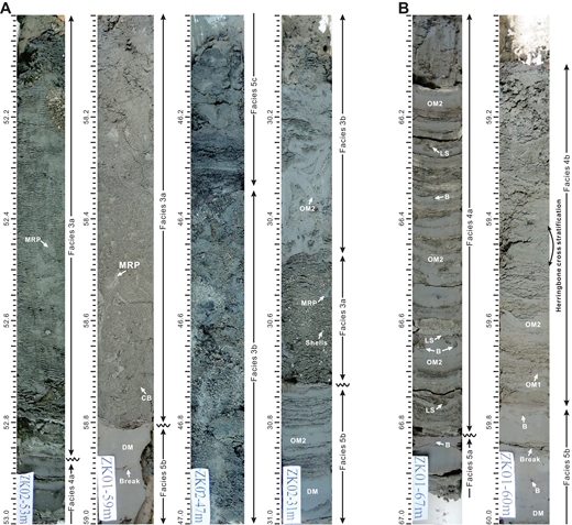 Core photographs showing the sedimentary characteristics of tidal-channel-floor deposits (F3 and F4; depths in m). [Note: Horizontal striations are an artifact of cleaning the soft sediment surface or of shrinkage during drying.] OM1, OM2—organized mud layers types 1 and 2; DM—disorganized mud layers. (A) Examples of F3 in four different core intervals. Two main subfacies are present. F3a occurs as erosively based, finer-grained structureless sand with abundant broken shells (30.47–30.73 m depth in core ZK02), and mud rip-up pebbles (MRP; 52.00–52.86 m depth in core ZK02; 58.00–58.81 m depth in core ZK01). These MRPs are irregular and show an obvious decreasing-upward trend for both grain size and abundance. Crude cross-bedding (CB) occurs in the channel bottom (e.g., 58.65–58.80 m depth in core ZK01). F3b is typified by sharp-based, contorted deposits due to slumping from adjacent channel banks (e.g., 46.35–47.00 m and 30.00–30.47m depth in core ZK02), resulting in difficulty in recognizing original sedimentary structures and layering. Locally, the deformed mud layers are >1 cm thick, indicating the original presence of fluid-mud deposits. (B) Examples of F4 from two intervals of core ZK01. Two varieties are present. F4a (66.00–67.00 m depth) is characterized by the alternation of thick and homogeneous OM2 layers and coarse-grained sand layers, which show a thinning-upward trend for the OM2 mud layers, indicating a decrease of suspended-sediment concentrations, and a thinning- and fining-upward trend for sand layers, implying a decrease of current speed, generating a net, coarsening-upward trend, which is interpreted to be due to the waning of a river flood within the channel. Bioturbation (B) is scarce to absent, and some small load structures (LS) are present at the bottom of sand layers. F4b is interpreted to represent the toeset deposits of a dune within the terminal distributary channel, and it shows a coarsening- and sandier-upward trend. The bottom part of this succession consists of thinly to thickly laminated sandy silt and OM1 (with a few OM2 layers); the middle part is mainly composed of fine and very fine sand, and very coarse silt; and the top consists of medium and fine sand. Crude cross-bedding is abundant in the sand-dominated middle and upper parts, with evidence for current reversals (i.e., herringbone cross-stratification at 59.40–59.50 m depth).