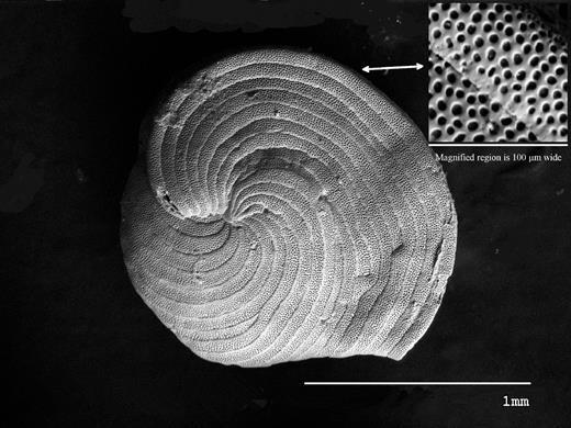 Scanning electron microscope image of Archaias angulatus. Maximum diameter of the specimen is ~1.5 mm.
