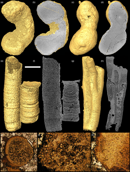 Synchrotron radiation X-ray tomographic microscopy (SRXTM; a–h) and light microscopy (i–k) images of Weng'an fossils. (a, b) a possible alga SMNH X 6459, comparable with Paramecia. (c, d) a peanut-shaped fossil SMNH X 6460. (e, f) Sinocyclocyclicus SMNH X 5322. (g, h) Ramitubus SMNH X 5326. (i–k) Light microscopy images of putative algae from Weng'an. Scale bar: (a, b) 270 µm, (c, d) 280 µm, (e, f) 180 µm, (g, h) 175 µm, (i, j) 140 µm, (k) 115 µm.