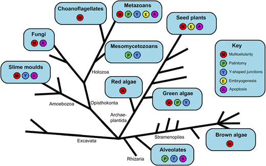 Schematic representation of eukaryote phylogeny, modified after Rensing (2016), showing the distribution of characters relevant to the interpretation of the embryo-like fossil Tianzhushania. Here multicellularity includes both aggregative multicellularity (e.g. slime moulds) and clonal multicellularity (animals, plants, fungi, various algae), as well as both facultative (e.g. choanoflagellates) and obligate multicellularity.