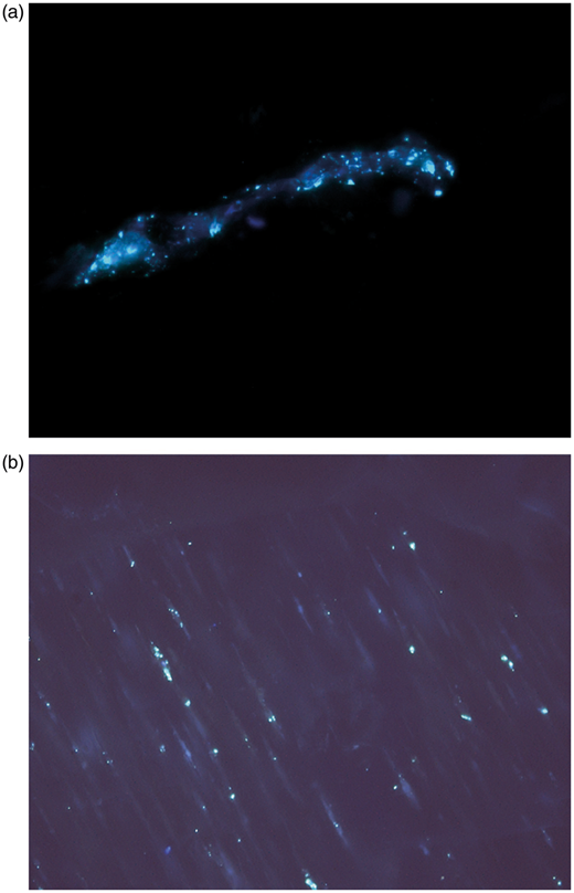 Oil inclusions fluorescing under ultraviolet light, in stylolite zone. (a) Oil inclusions in trail through quartz grain; (b) oil inclusions in altered K-feldspar. Polished wafer, Eriboll Formation, Ullapool. Field widths 200μm. Microthermometric data are reported in Table 3.