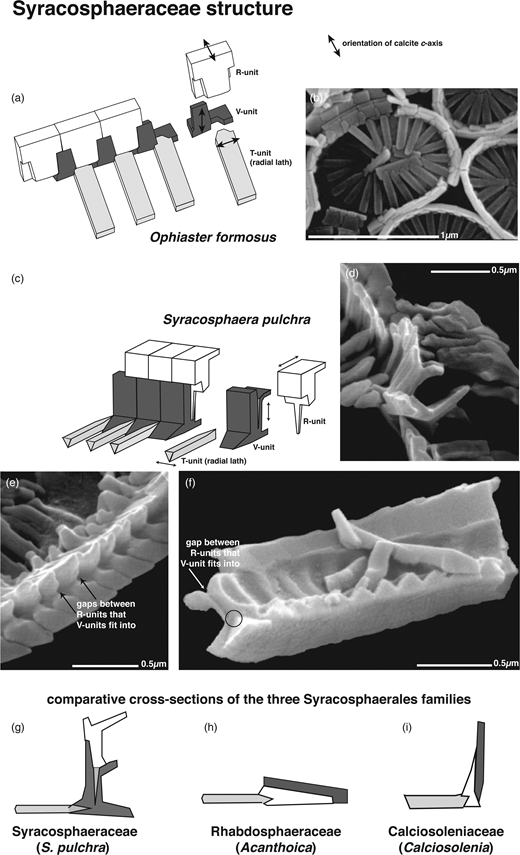 Structure of the families of the Order Syracosphaerales – Syracosphaeraceae: (a) interpretative drawing of (b) SEM image of Ophiaster formosus coccoliths; (c) interpretative drawing of (d–f) SEM images of broken portions of Syracosphaera pulchra rim; (g–i) comparison of rim construction in Syracosphaeraceae, Rhabdosphaeraceae and Calciosoleniaceae rims (see Young et al. (2004) for extended explanation).