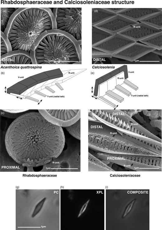 Structure of the families of the Order Syracosphaerales – Rhabdosphaeraceae and Calciosoleniaceae: (a) distal and (c) proximal SEM images of Acanthoica quattrospina coccoliths, with (b) interpretative drawing; (d and f) SEM images of distal and proximal views of Calciosolenia coccoliths, with (e) interpretative drawing; (g–i) LM images of a single Calciosolenia coccolith: (g) phase-contrast, V-unit dark; (h) crossed-polars, R-unit strongly birefringent; (i) Photoshop composite of (g) superimposed on (h) at 50% transparency, showing R-unit surrounded by V-unit (compare this with (d) and (e)).