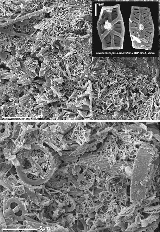 SEM images of pristine Turonian sediment surfaces (TDP 36/5-1, 26 cm) showing (a) concentrations of coccoliths dominated by Truncatoscaphus macmillanii (shown in detail in inset), and (b) view with typical, small to medium-sized, robust Cretaceous coccoliths (Eiffellithus, Rotelapillus, Corollithion, Zeugrhabdotus) along with abundant, frangible Truncatoscaphus and Stradnerlithus.