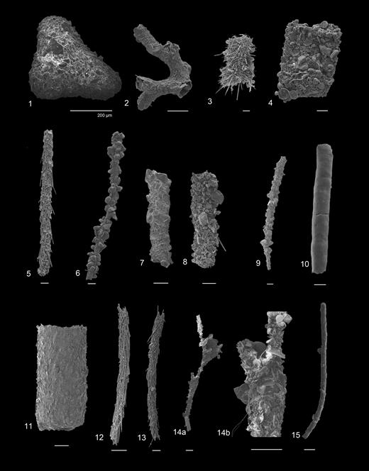 (1) Astrorhiza granulosa (Brady, 1879), Hole U1342B. (2) Dendrophyra sp., Hole U1343A. (3) Nothia sp. 'large spicules', Hole U1341A. (4) ?Nothia sp. 'diatoms', Hole U1345B. (5) Marsipella elongataNorman, 1878, Hole U1342A. (6–8) Rhabdammina spp.: 6, Hole U1342A; 7–8, Hole U1344. (9) Bathysiphon sp. 'coarse', Hole U1341A. (10) Bathysiphon filiformis G.O. & M. Sars, 1872, Hole U1345C. (11) Psammosiphonella discreta (Brady, 1881), Hole U1341A. (12–13) Rhabdamminella cylindrica (Brady, in Tizard & Murray, 1882): 12, Hole U1340A; 13, Hole U1339A. (14a, b) Rhizammina algaeformisBrady, 1879, Hole U1344. (15) Rhizammina sp. 'straight large'. Hole U1342B. Scale bar 200µm.