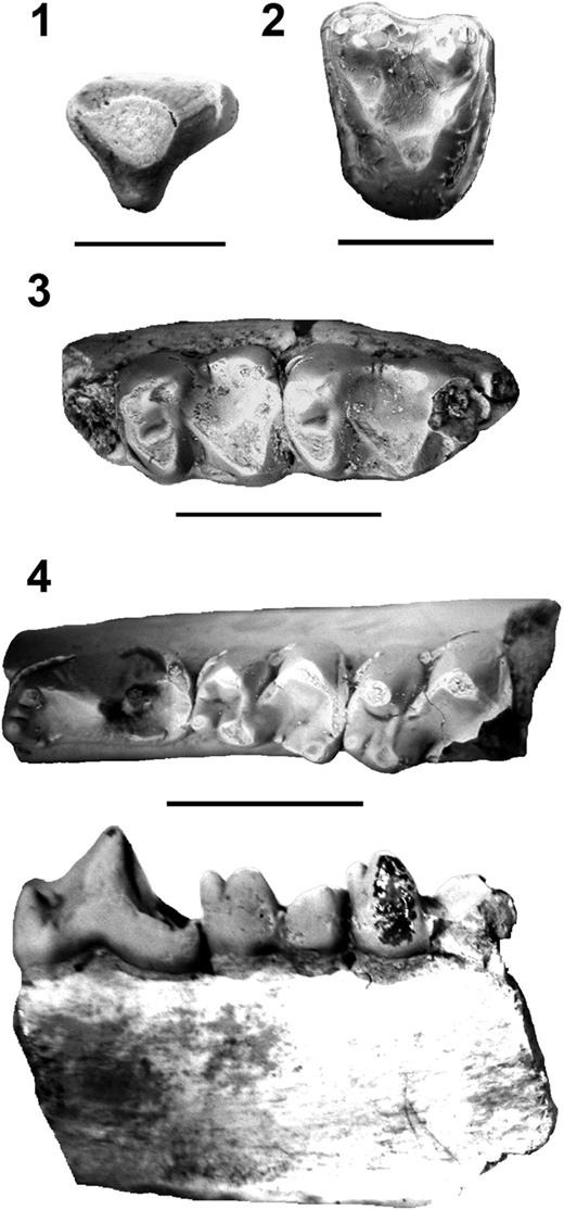 (1) FOBU 6441, Bunophorus grangeri, left P3 in